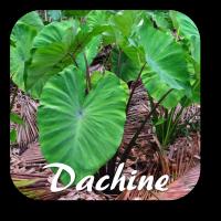dachine1